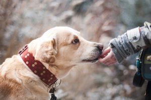 labrador riceve cibo per cani